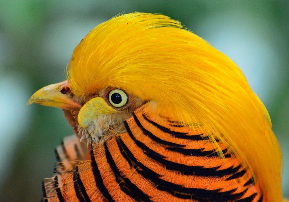 Golden Pheasant Bird Exotic Wildlife Nature wallpaper