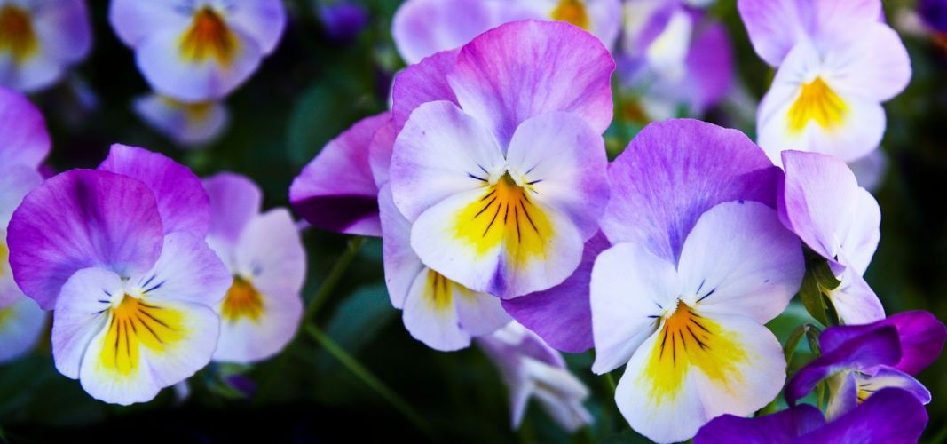 Pansy Flowers Purple Nature Spring Color wallpaper
