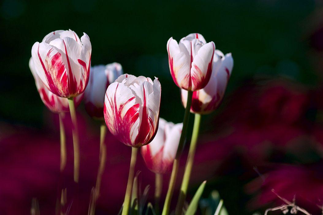 Tulips Garden Flowers Color Spring Nature tulip wallpaper