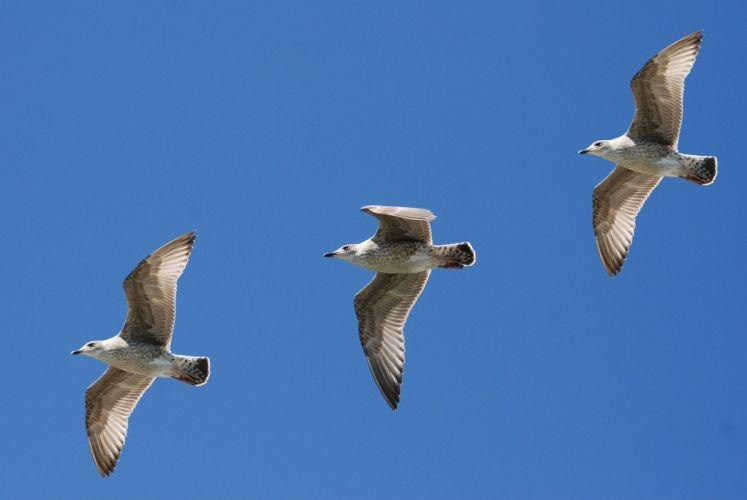Gulls Seagull Wings Feather Sky Flight Nature wallpaper