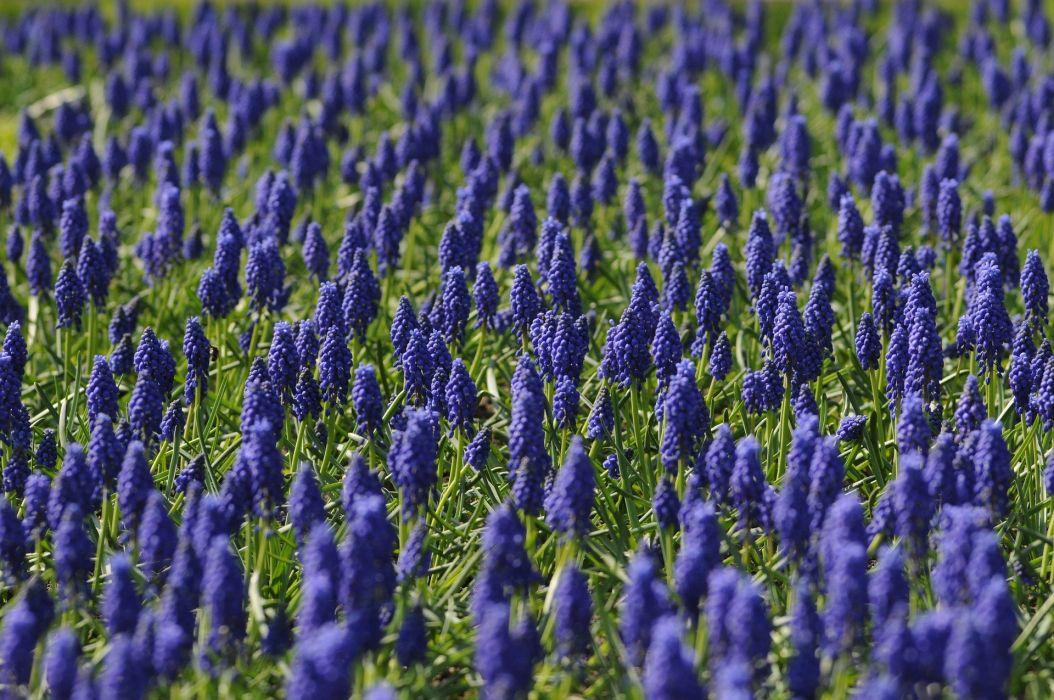 Muscari Field Flower Blue Nature Spring wallpaper