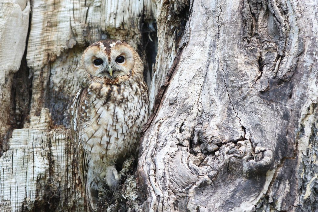 Owl Camouflage Wildlife Bird Of Prey Predator Bird wallpaper