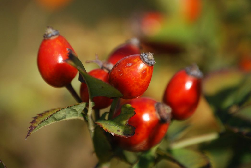Rosehips Berry Branch Plant Red Nature wallpaper