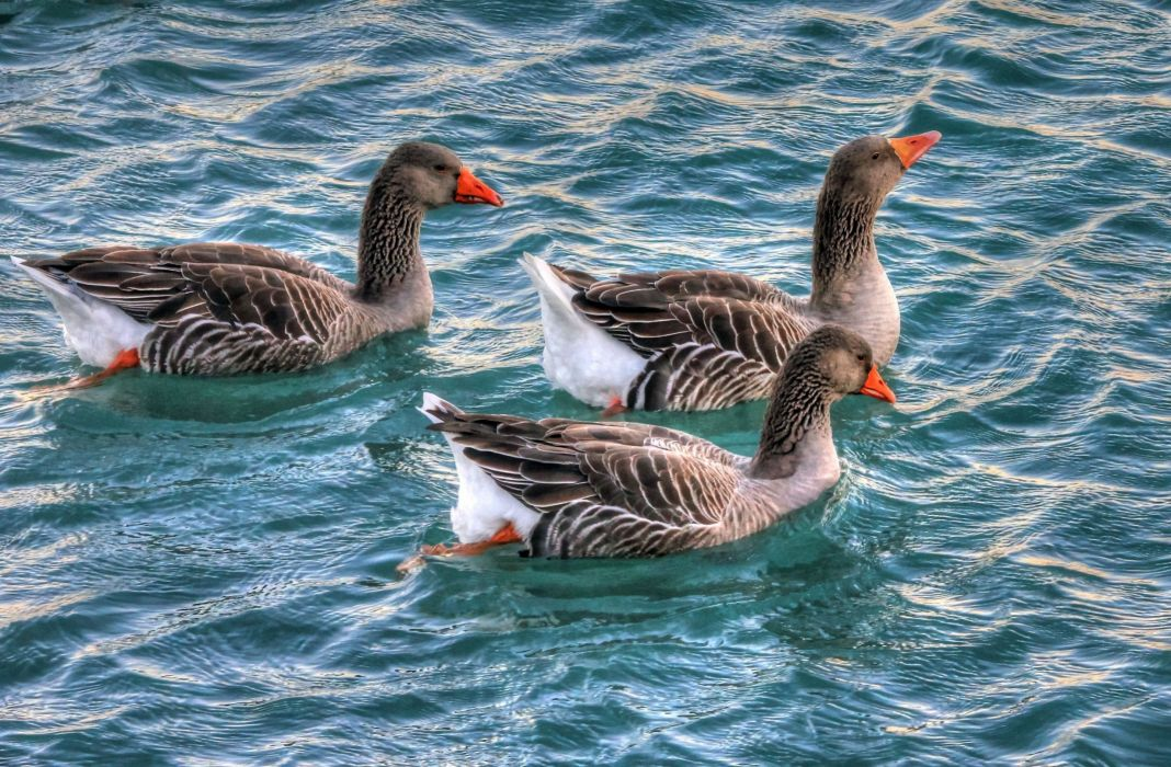 Geese Water Birds Waterfowl Swimming Animals wallpaper