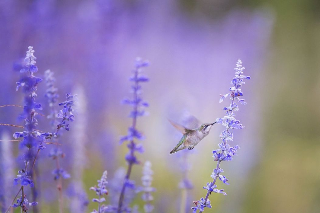 Animal Bird Bloom Blossom Flora Flowers humming bird hummingbird wallpaper