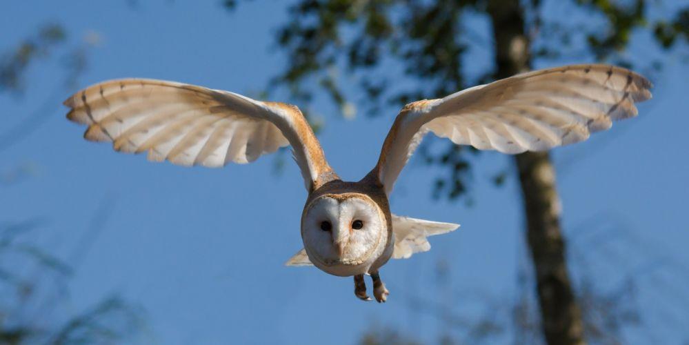 Barn Owl Bird Owl Nature Wildlife wallpaper