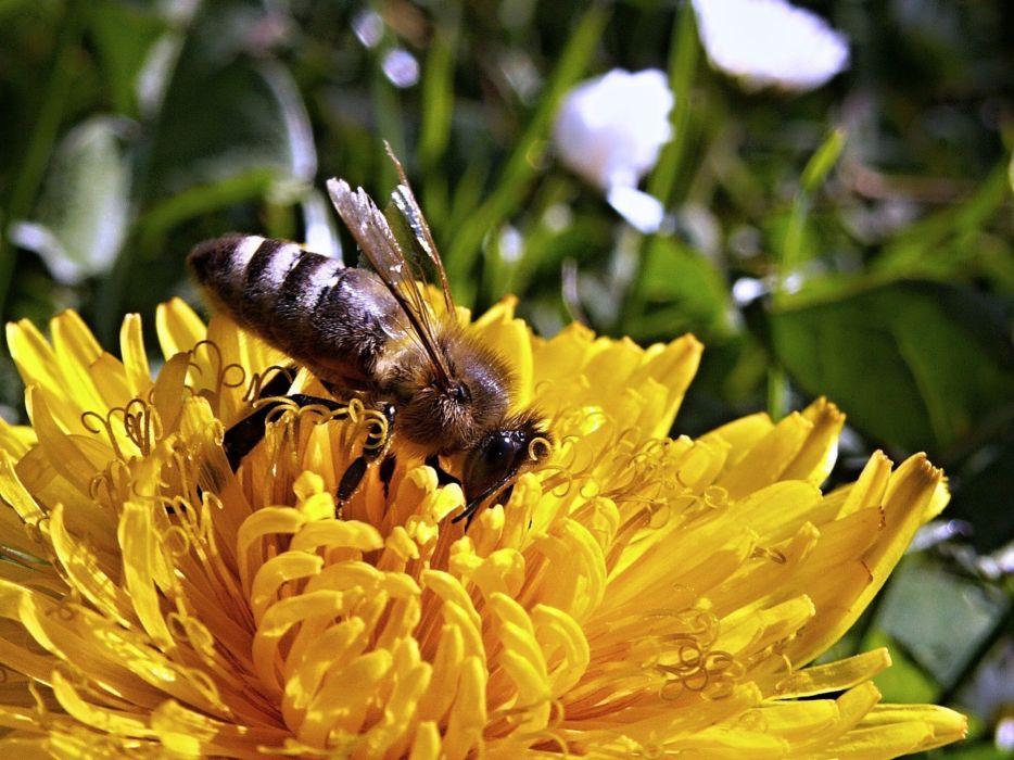 Bee Dandelion Macro Spring Nature Garden Flower wallpaper