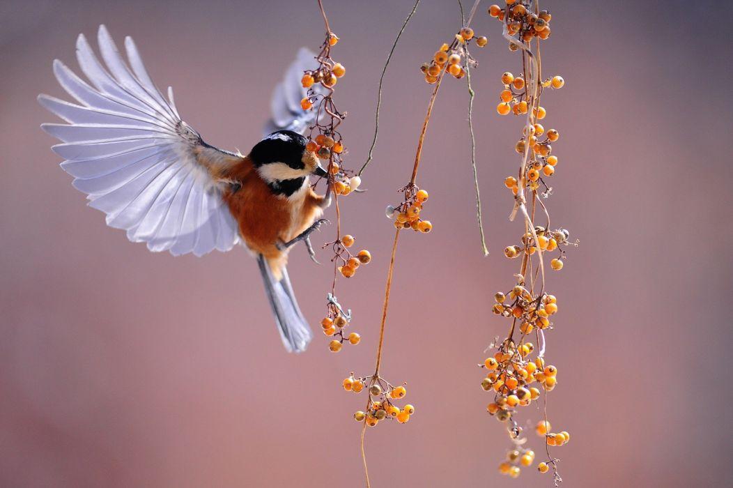 Birds Nature sparrow finch wallpaper
