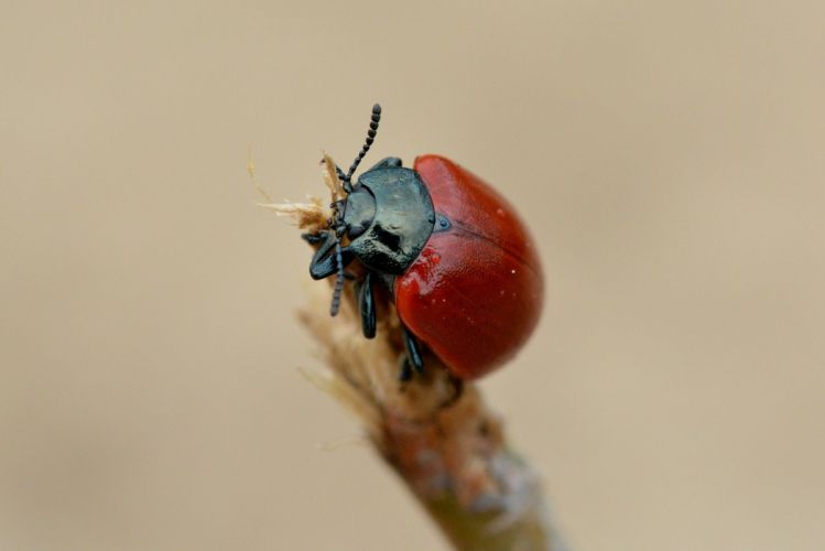 Beetle Insect Close Macro Nature ladybug wallpaper