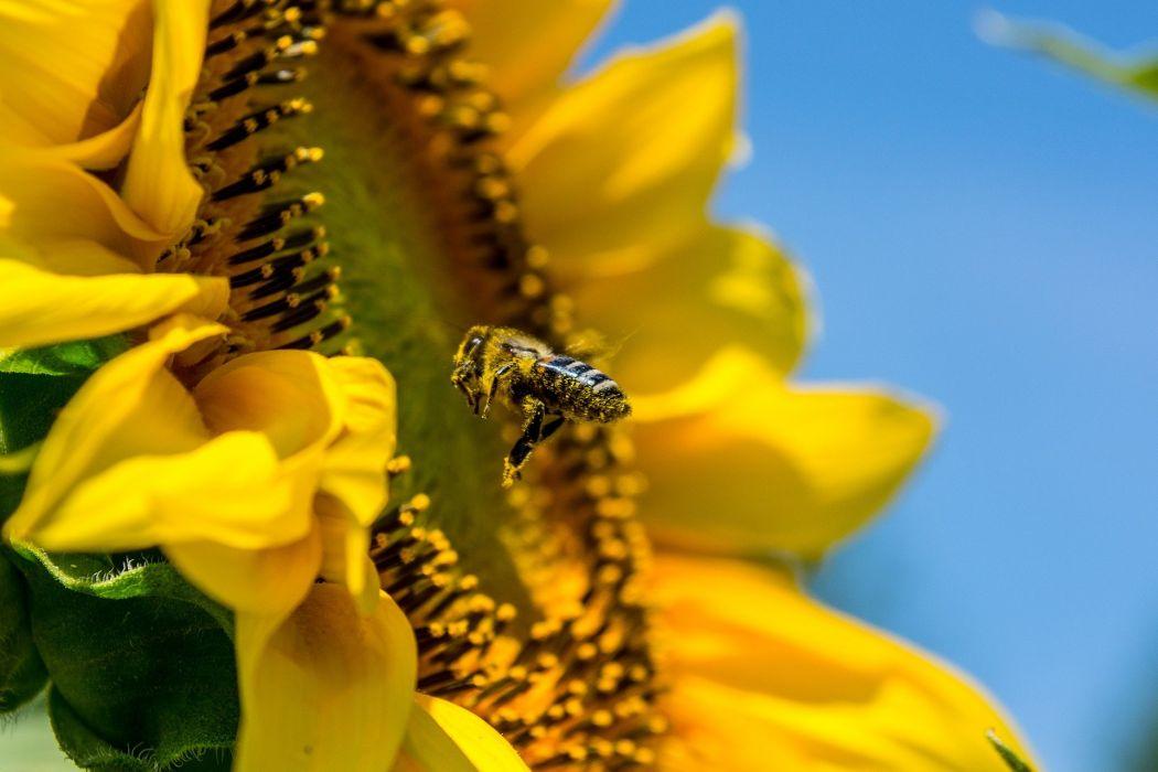 Bee SunFlower Yellow wallpaper