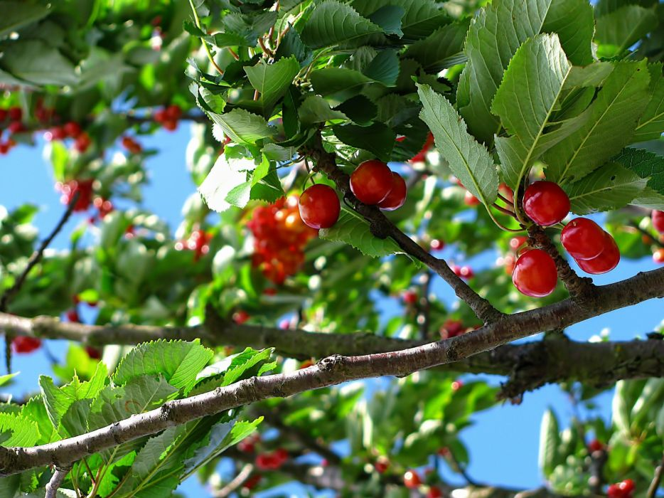 Cherry Tree Fruit Nature June Colors berry wallpaper