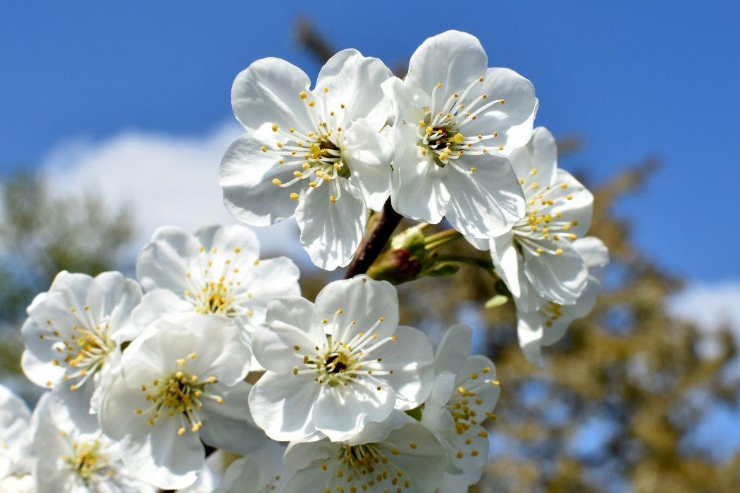 Cherries Flowers Closeup White Nature Cherry Sad blossom wallpaper