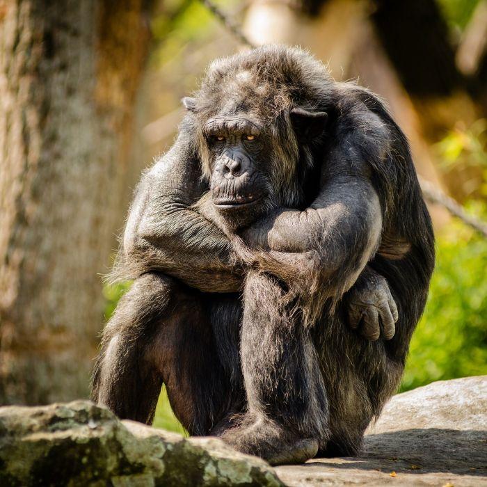 Chimpanzee Sitting Sad Mammal Portrait Primate monkey wallpaper