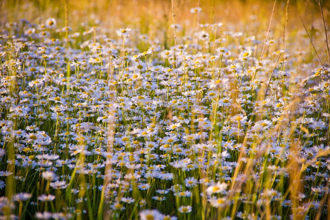 Chamomile Flowers White Flowers Nature Glade wallpaper