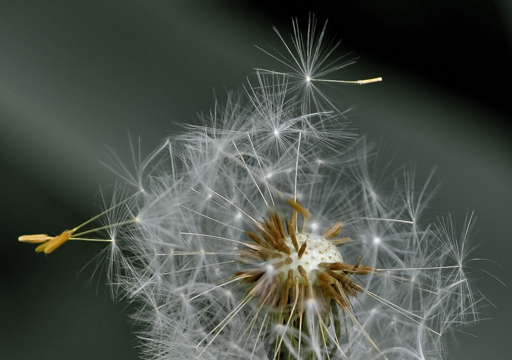 Dandelion Blowball Seeds Wind Nature Plant Flora detail wallpaper
