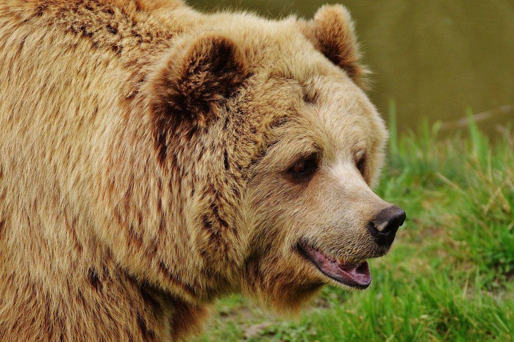 Brown Bear Wild Animal Animal wallpaper