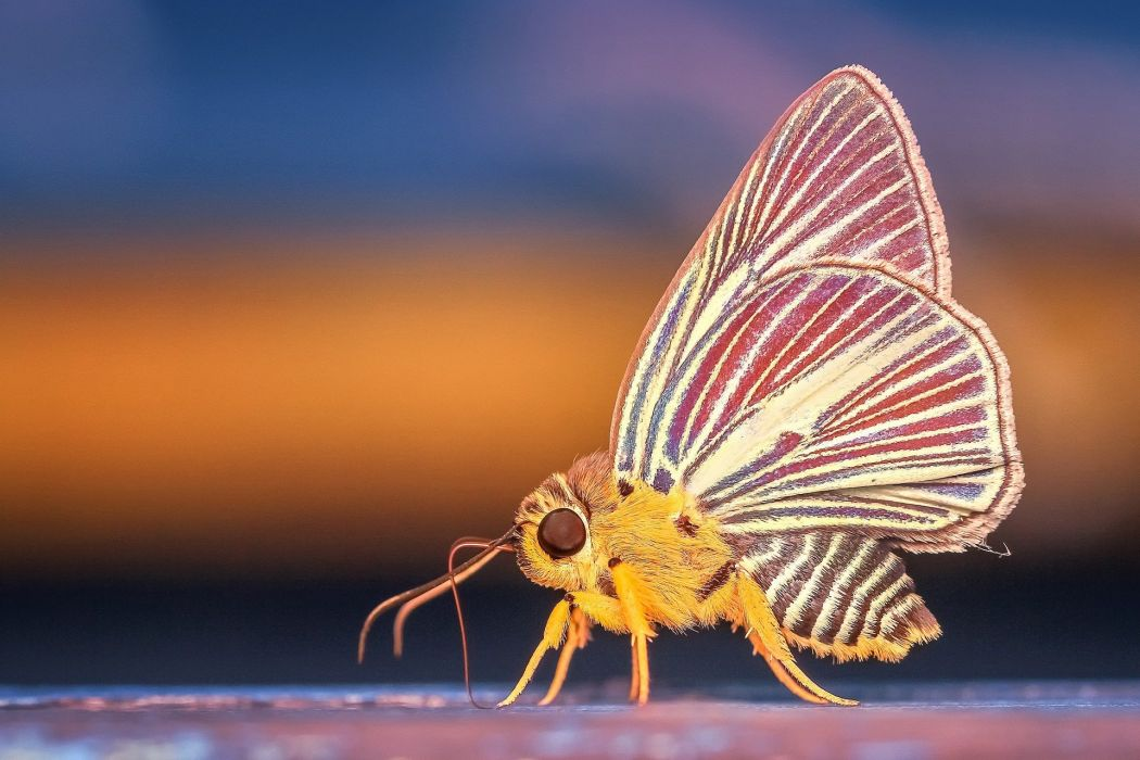 Butterfly Insect Macro Animal Nature wallpaper