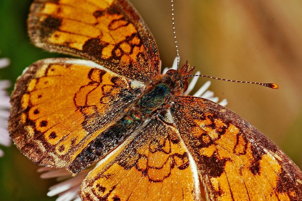 Butterfly Macro Insect Nature Wildlife Delicate wallpaper