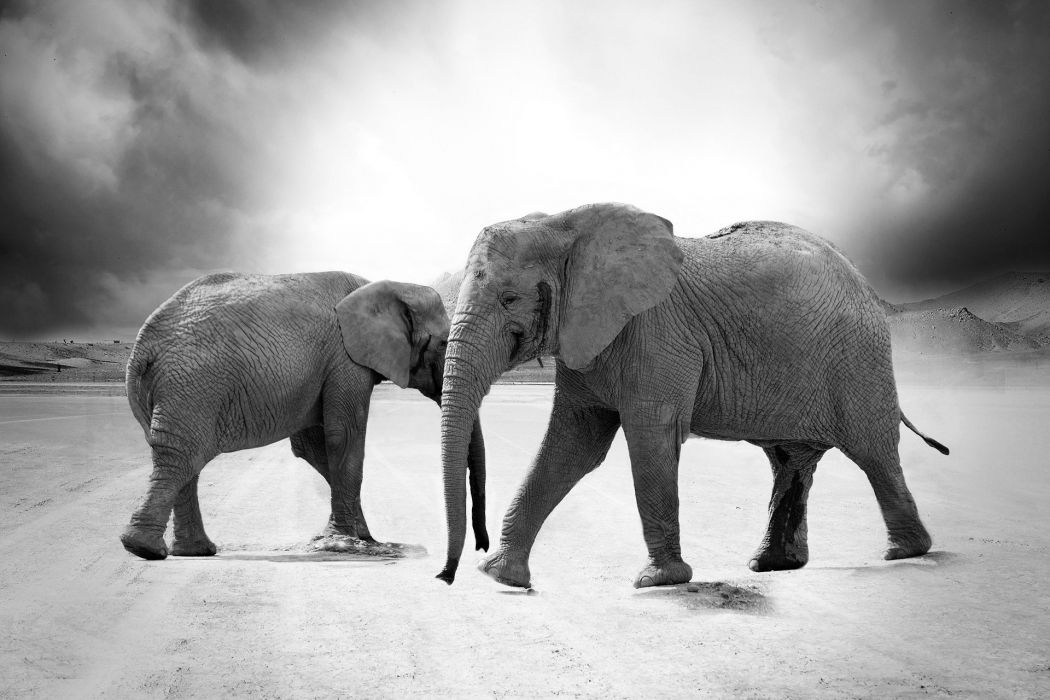 Elephant Animals Africa wallpaper