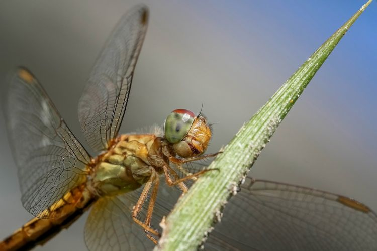 Dragonfly Insect Macro Nature Wings Wildlife detail wallpaper