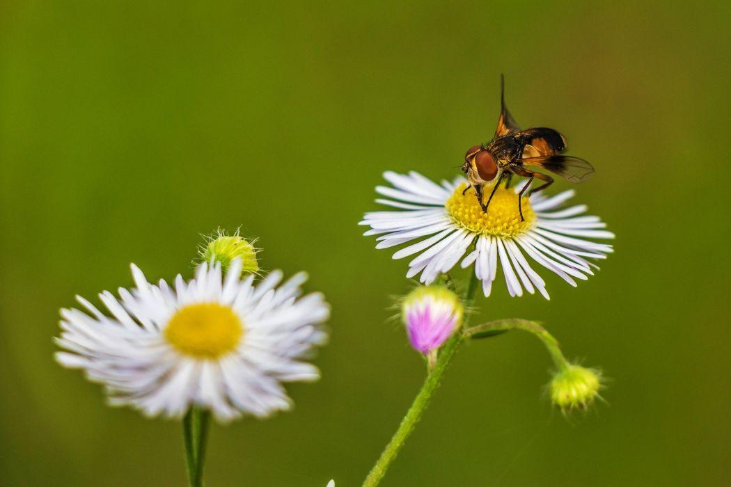 Flower Plant Nature Meadow Bloom Plants Fly bee wallpaper