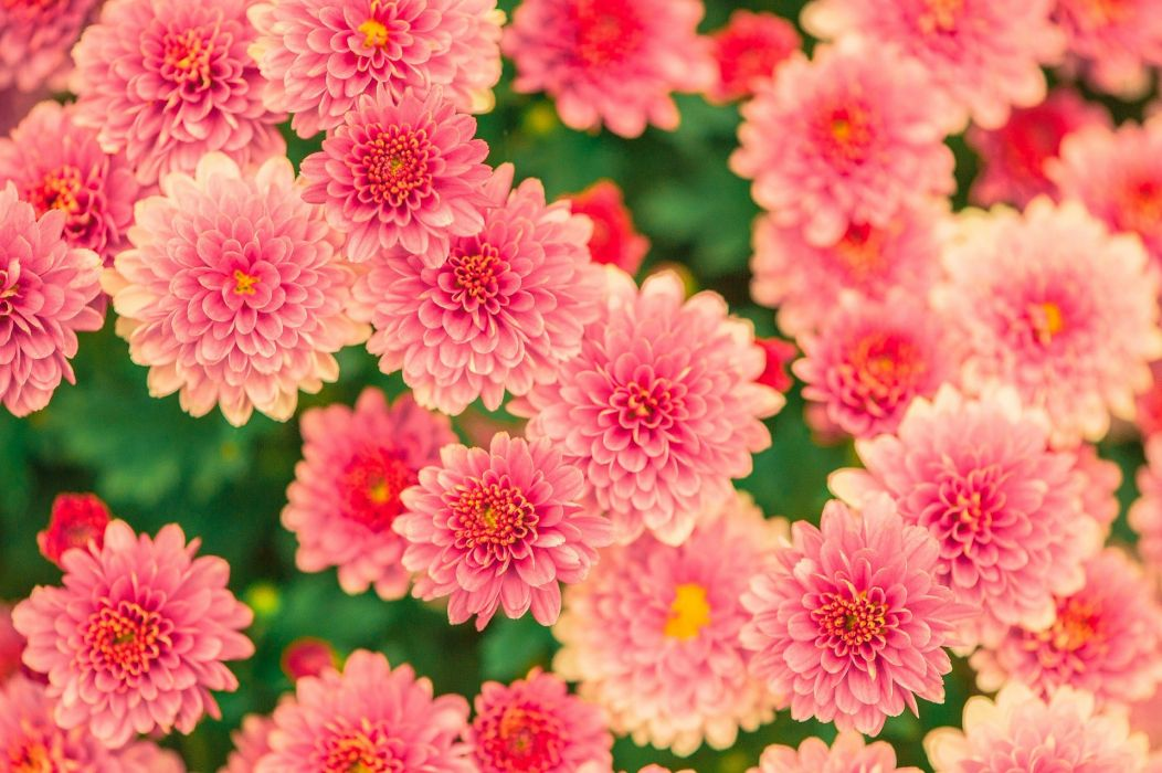 Flowers Summer Pink Nature Garden Plant wallpaper