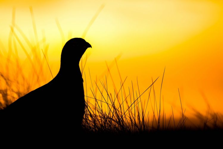 Grouse Sunrise Scotland Bird grass wallpaper