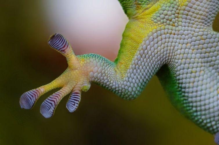Gecko Hand Sticky Nature Reptile Lizard Animal wallpaper