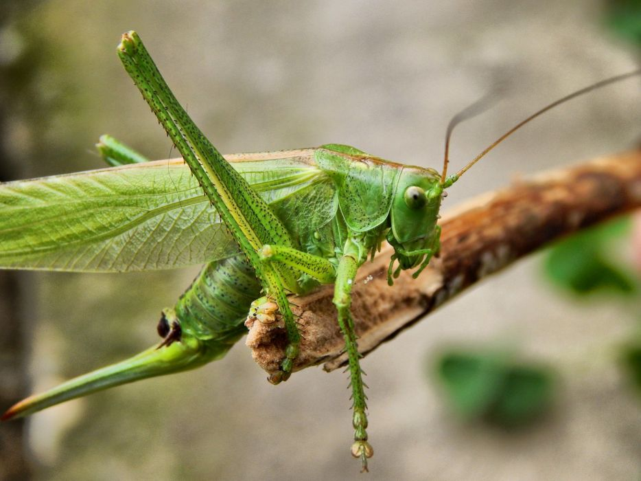 Grasshopper Insect Nature wallpaper