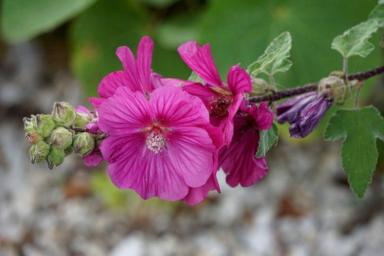 Hollyhock Flower Flora Botany Garden Nature wallpaper