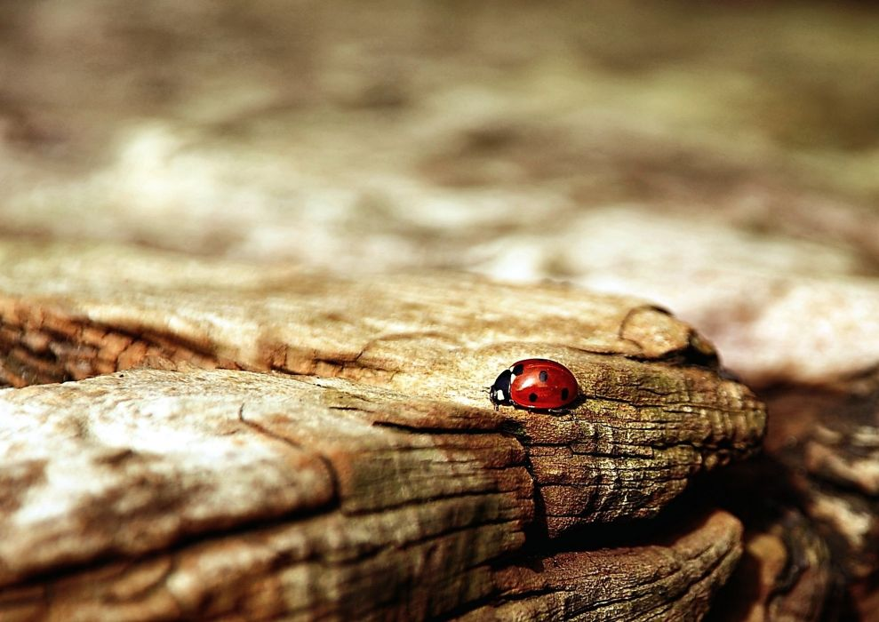 Ladybug Brown Nature Beetle Insect wallpaper