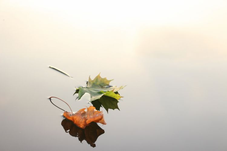 Maple Leaves Maple Leaves Autumn Nature Fall reflection wallpaper