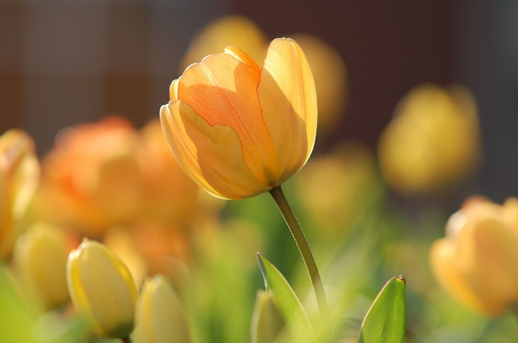 Tulip Yellow Bright Spring Floral Blossom Natural wallpaper