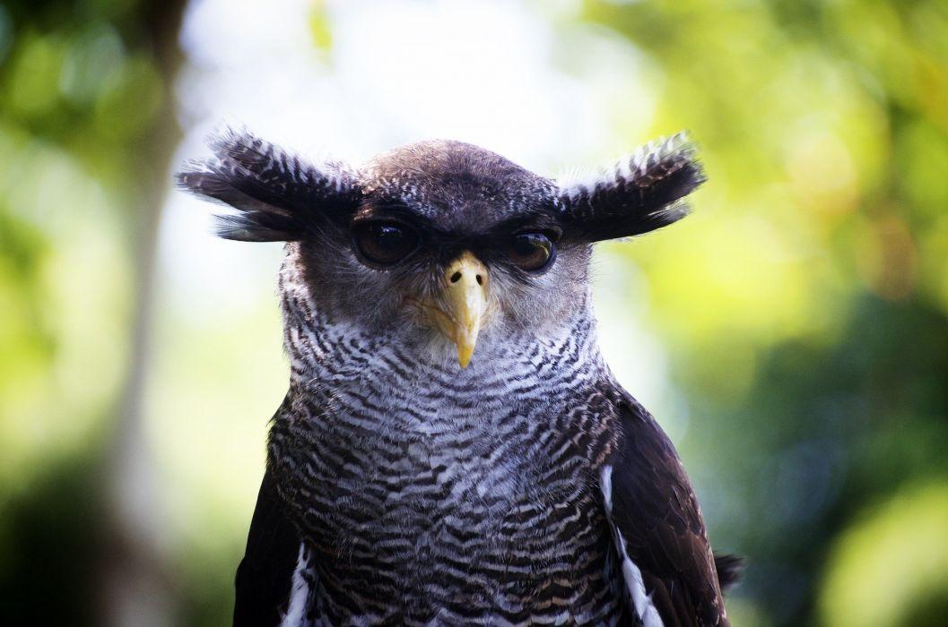 Owl Close Up Bird wallpaper