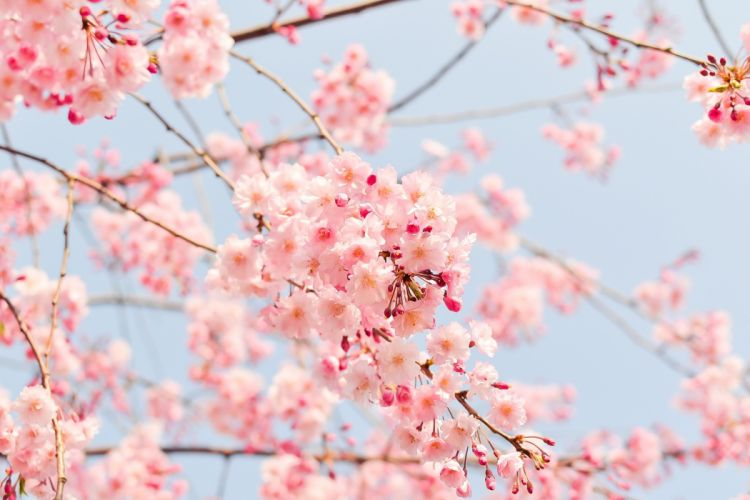 Natural Plant Flowers Cherry Japan Spring Pink blossom wallpaper