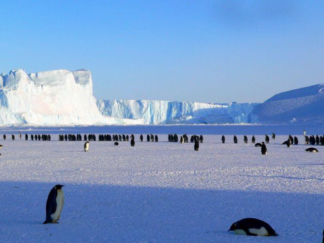Penguin Emperor Antarctic Ice winter wallpaper