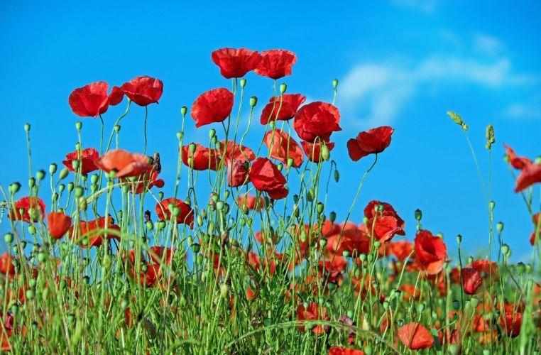 poppy Flower Klatschmohn Blossom Bloom Red wallpaper