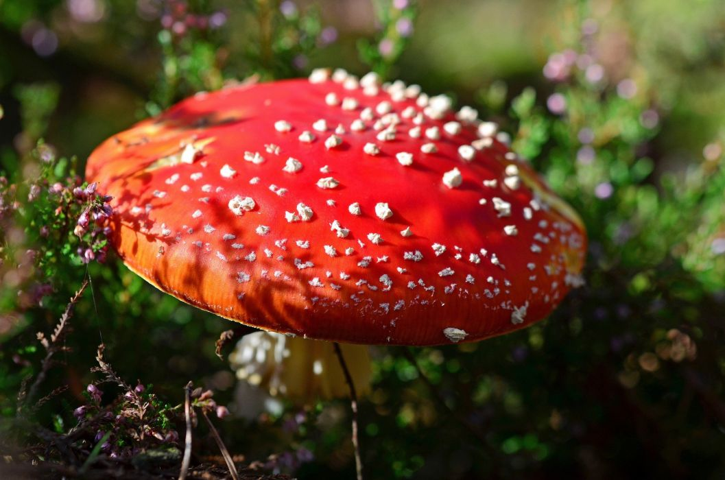 Red Fly Agaric Mushroom Toxic forest wallpaper