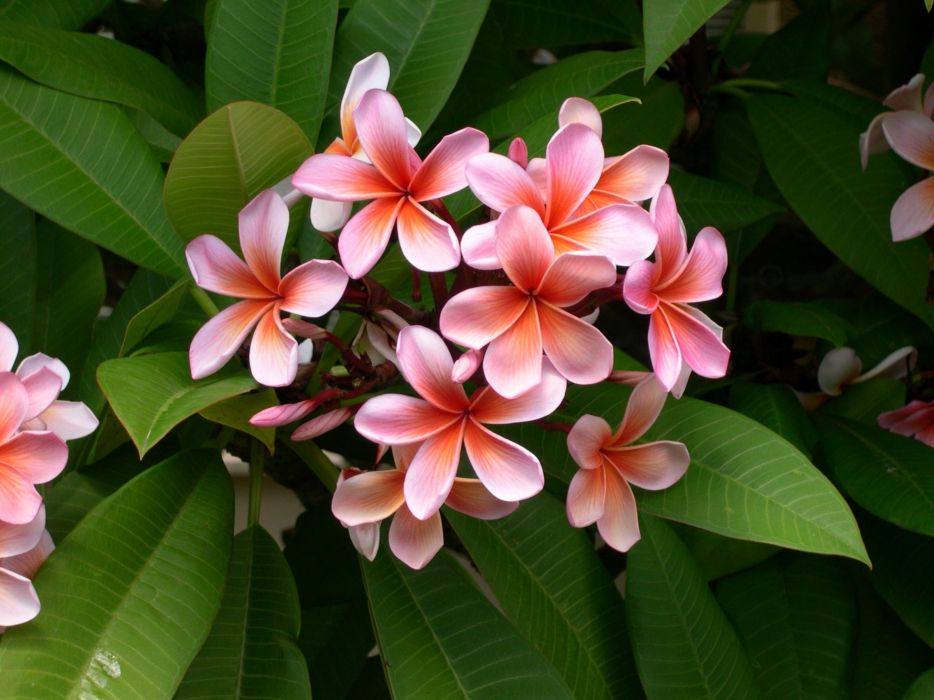 Plumeria Flower Frangipani Plant White Red wallpaper