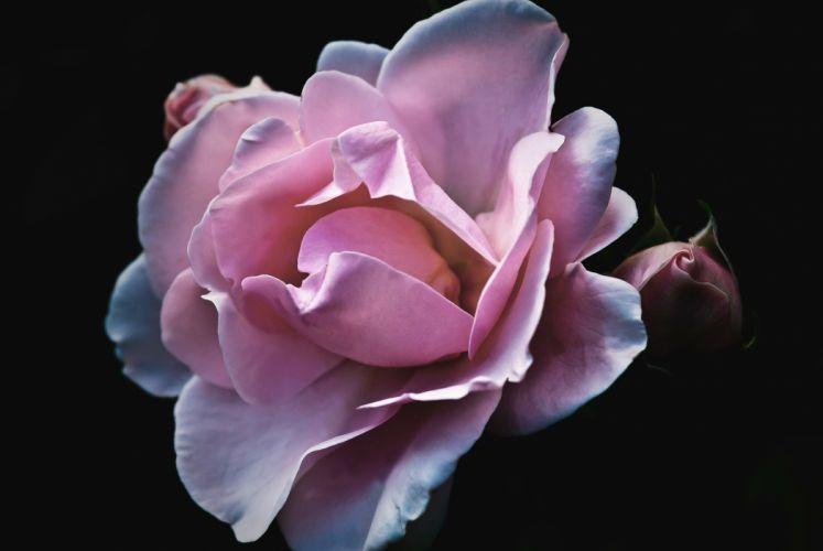 Roses Flower Nature Garden Blossom Bloom rose wallpaper