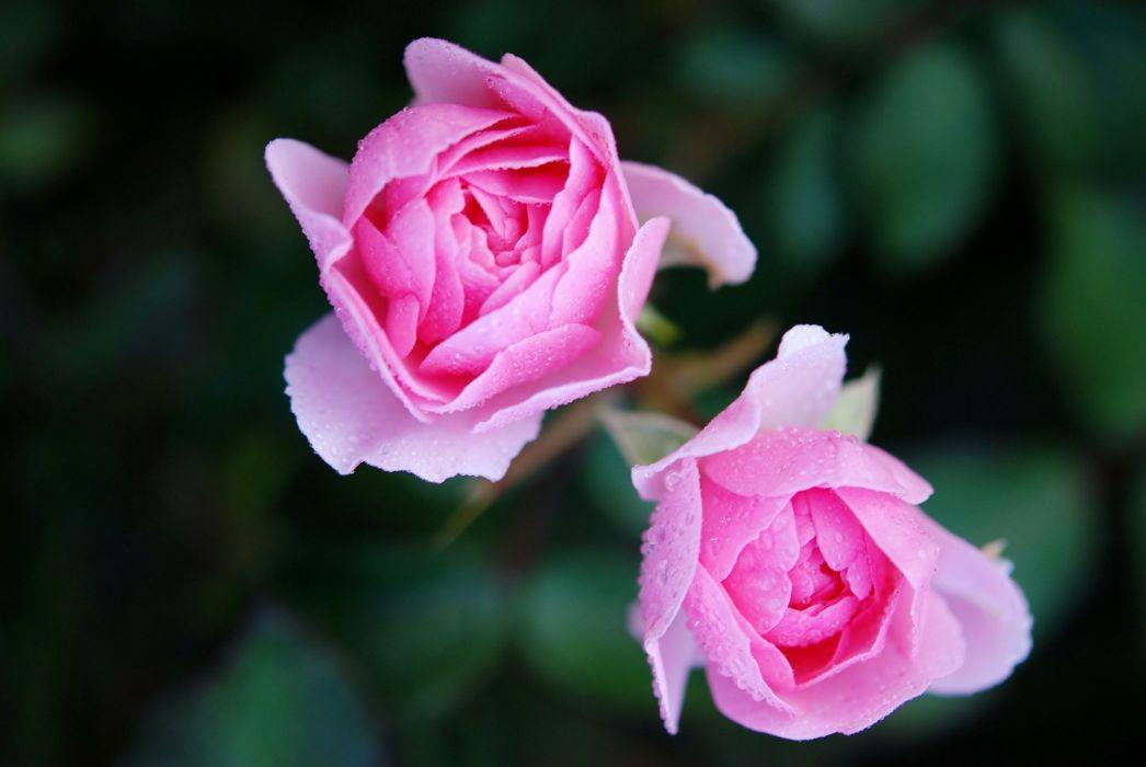 Roses Flower Nature Macro Pink Rose wallpaper