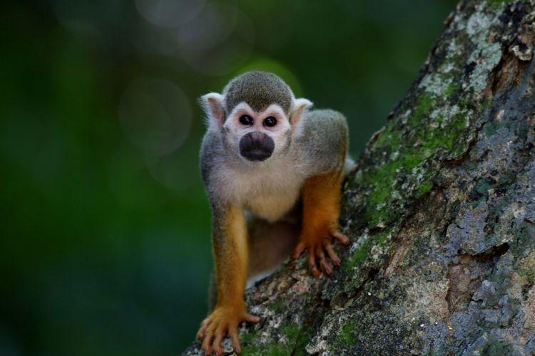 Scented Monkey Primate Animal wallpaper
