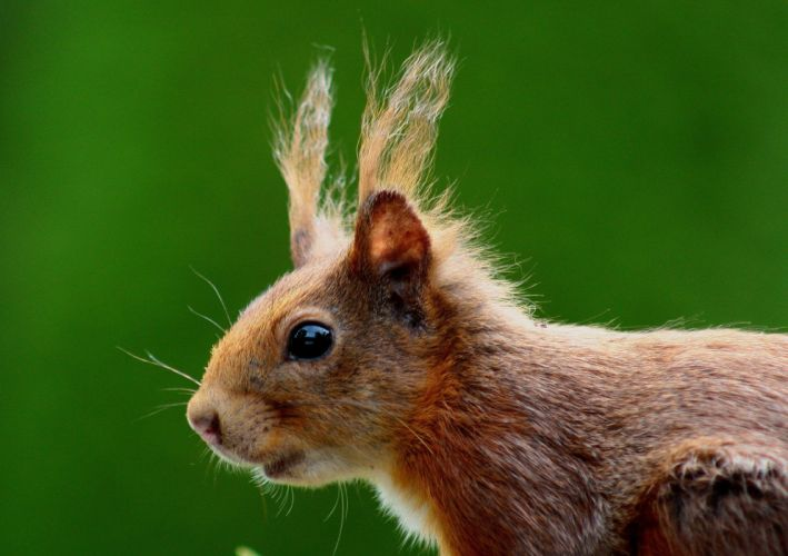 Squirrel Nager Brown Nature Fur Ears Rodent Cute wallpaper