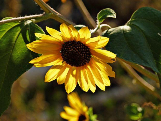Sunflower Flower Plant Desert Nature Yellow wallpaper