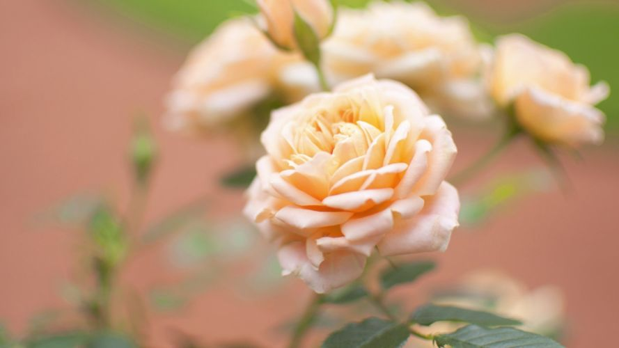 Yellow Rose Bud Close Up Flower Blurred wallpaper