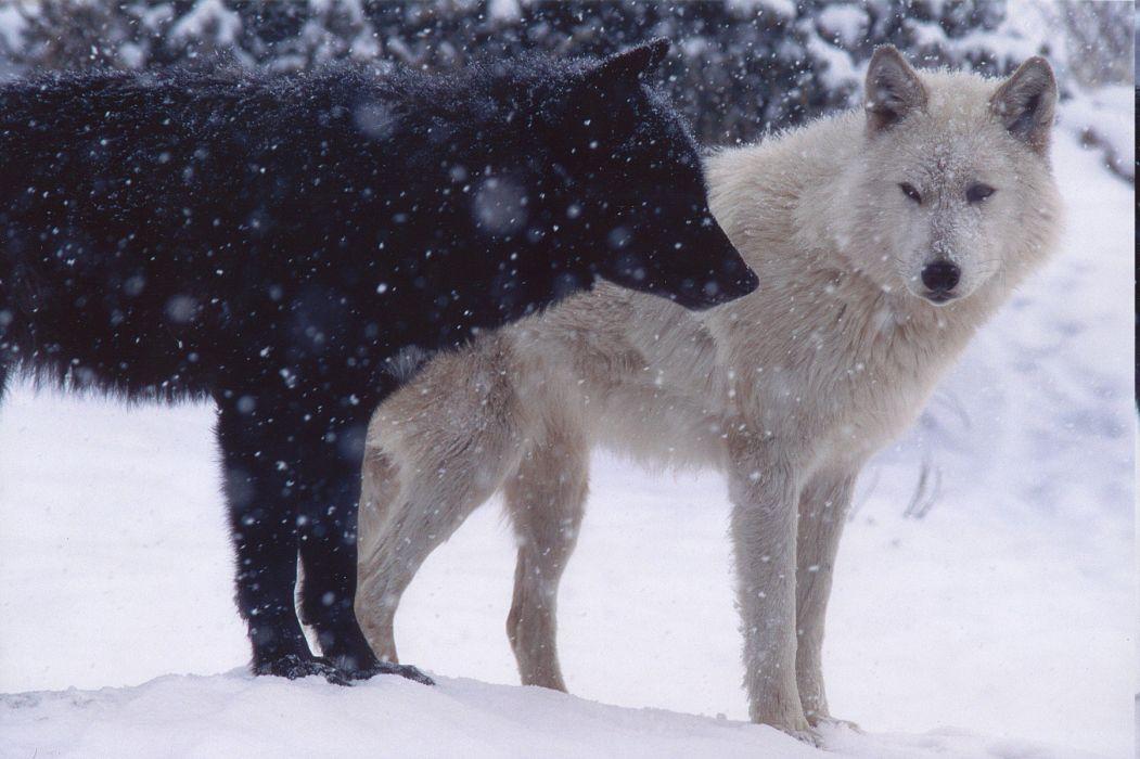 animals wolf wallpaper