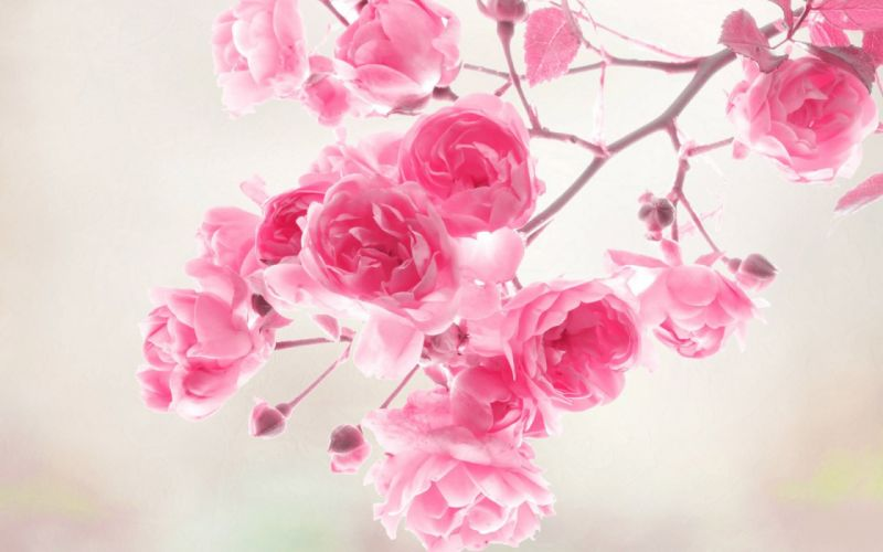 flower beauty nature pink wallpaper