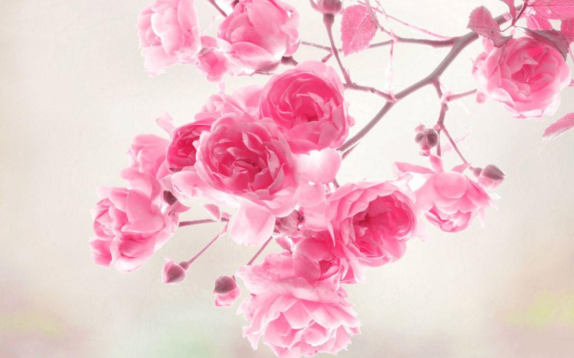 flower beauty nature pink wallpaper