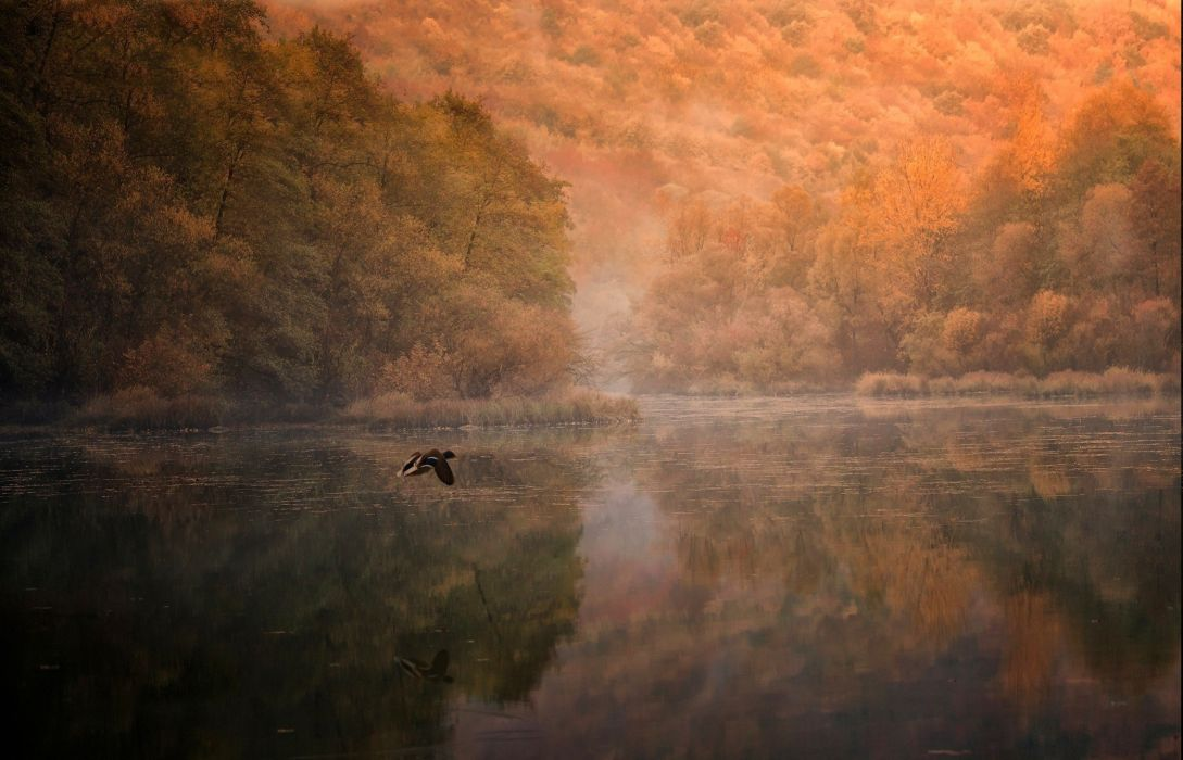 birds duck Fall Flying forest lake landscape mist Morning mountain nature reflection Trees water wallpaper