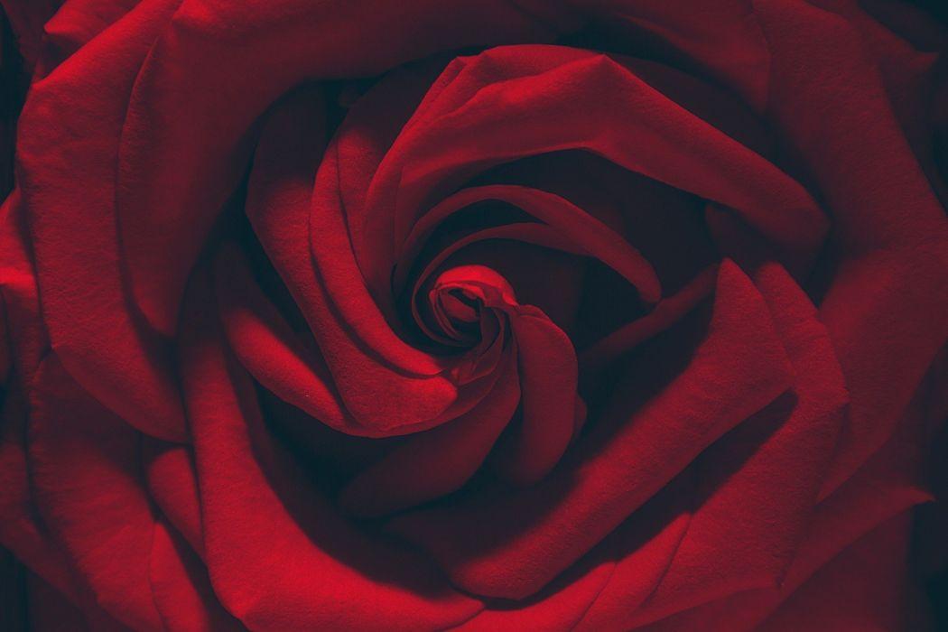 flowers macro plants rose red wallpaper